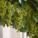 Wijngaard Merwe Zigt