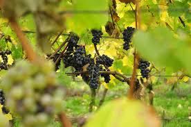 Open dag - wijngaard Merwezigt
