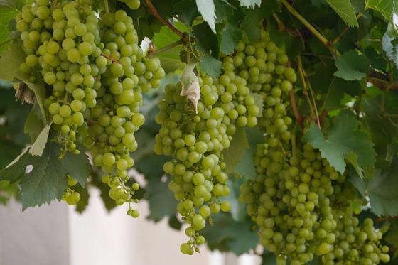 Open dag wijngaard Merwe Zigt