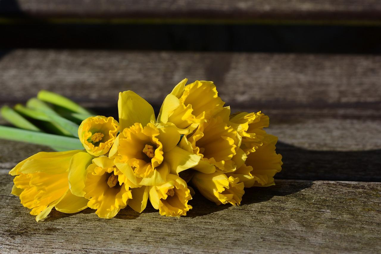 Daffodils 3152611 1280