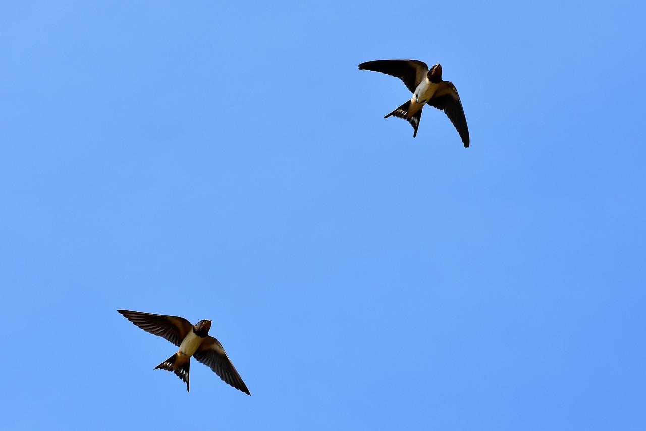Swallows 3850033 1280