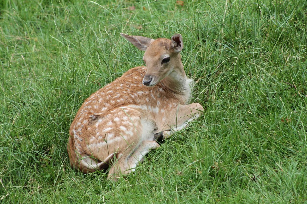 Roe Deer Kid 283999 1280