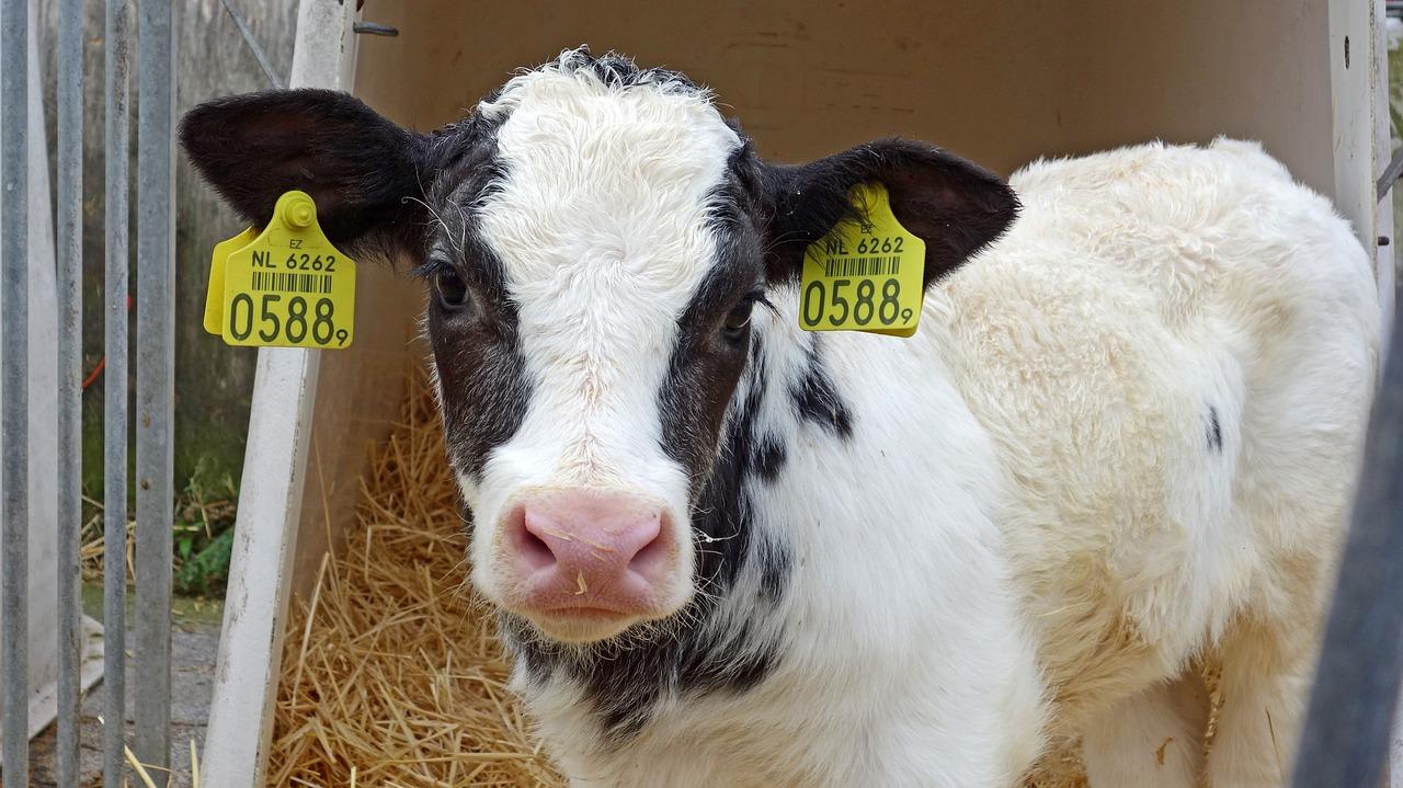 Cow 1766102 1280