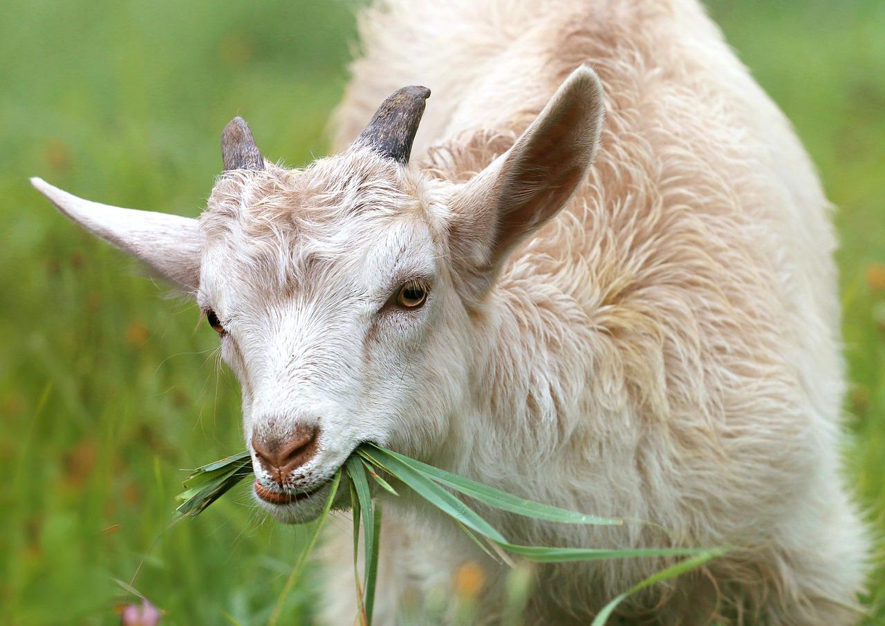 Goat 1596880 1280