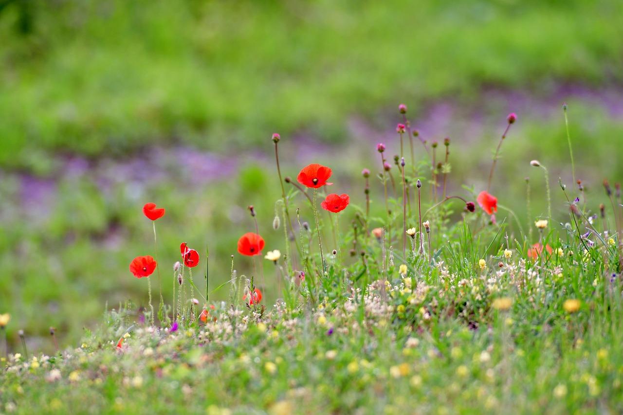 Poppies 4336355 1280