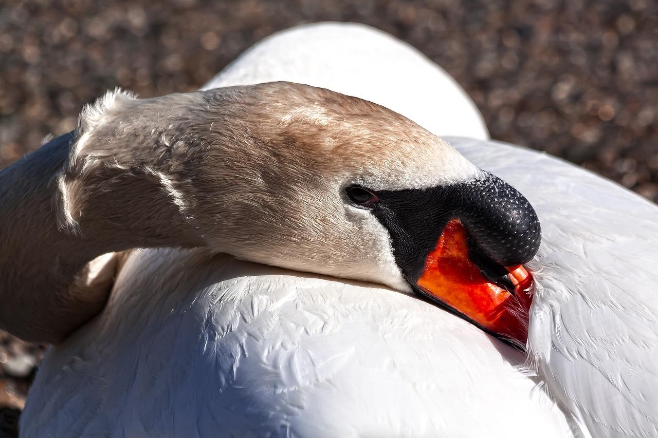 Swan 4149207 1280