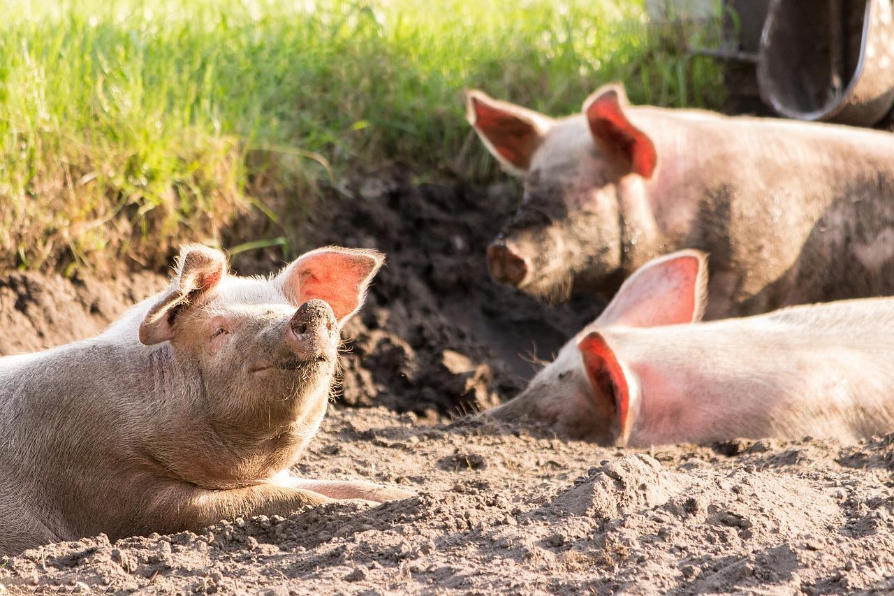 Pigs 4028140 1280