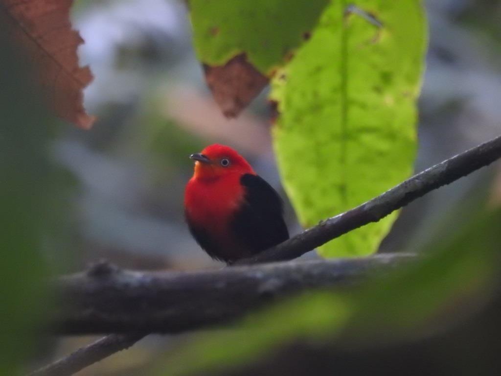 Lezing Bij Natuur- En Vogelwacht De Vijfheerenlanden: Vogels Van Suriname – Gerrit Jan Klop