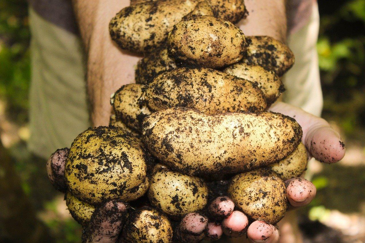 Potatoes 1866415 1280