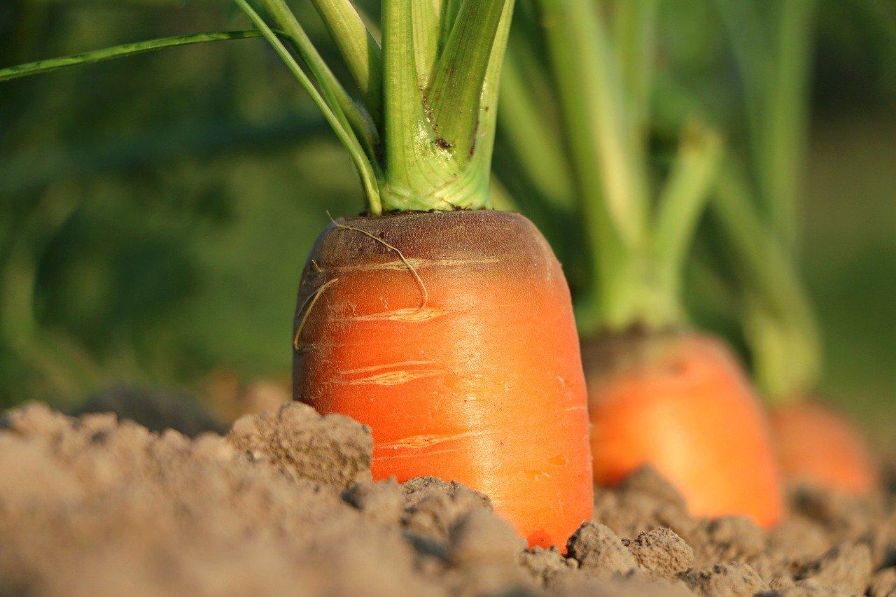 Carrot 1565597 1280