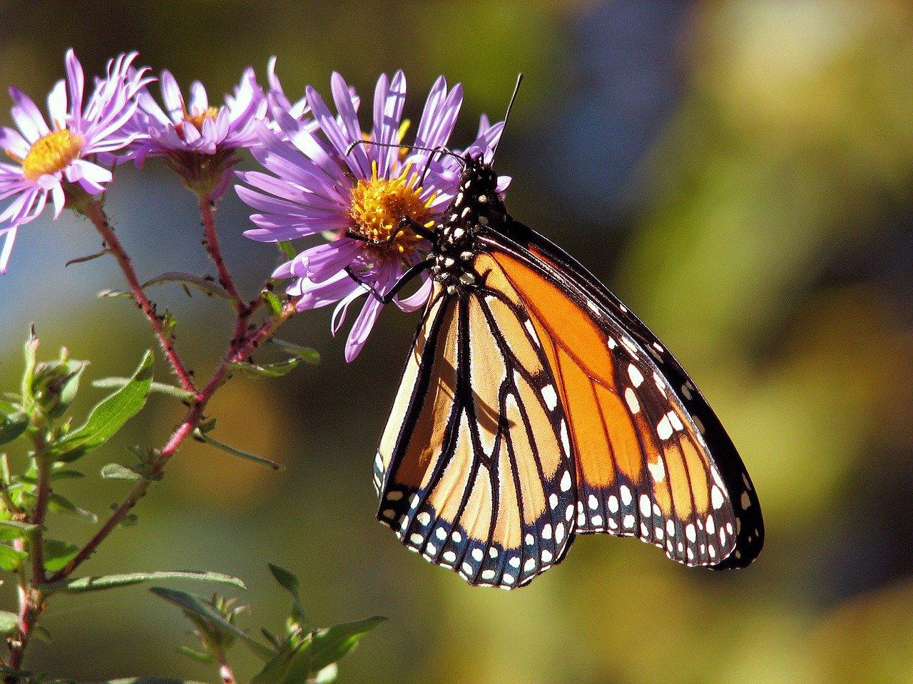 Butterfly 17057 1280