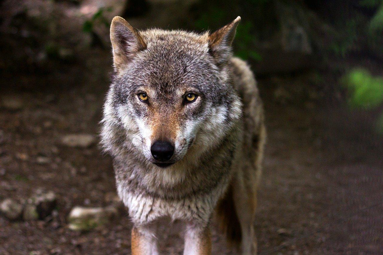 Artikel Kontakt: College Molenlanden: 'Wolf Verjagen Is In Strijd Met De Wet'